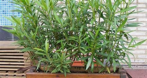 oleandro in vaso piante da siepe in vaso siepi siepe in vaso