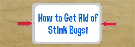 how to get rid of stink bugs in my house how to get rid of stink bugs fast natural home remedy
