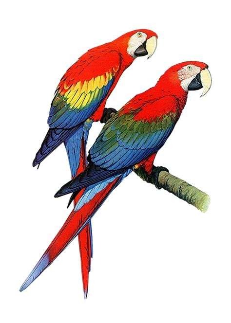 clipart photo parrot png transparent images and clipart pics