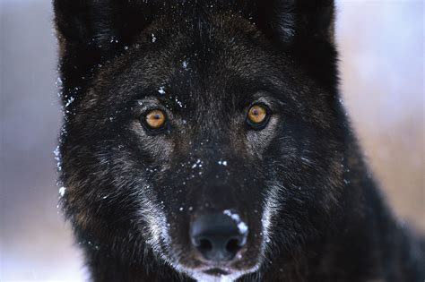 Tha 101 Black canis lupus 101 wolf of the day all black