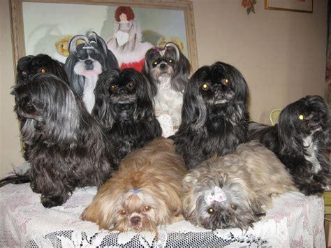 family shih tzu shih tzu family assistedlivingcares