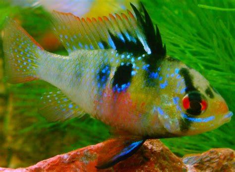ram fish der sdamerikanische schmetterlingsbuntbarsch