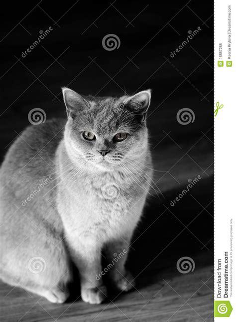 imagenes en blanco y negro gato gato en blanco y negro