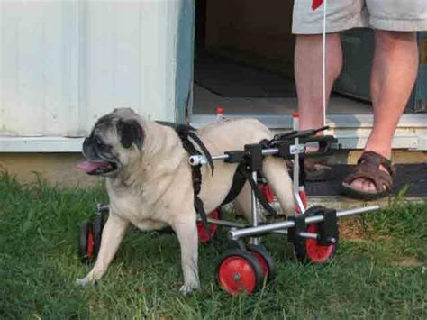pug in a wheelchair pug in four wheel wheelchair from k 9 cart company east in oxford md 21654