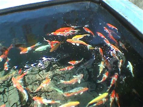 Tempat Perhiasan Etching Ikan Koi sakato koi club komunitas pecinta ikan koi asal sumatera