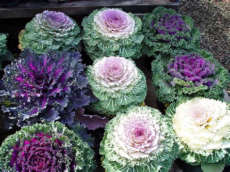 flowering cabbage lake view farms