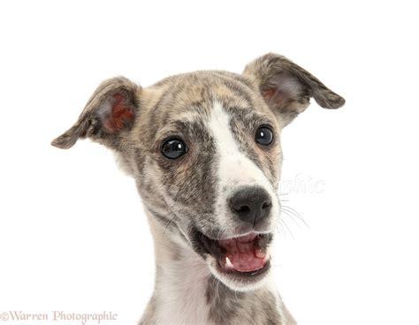 Dog: Brindle-and-white Whippet pup photo - WP27177