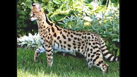 african serval cat images