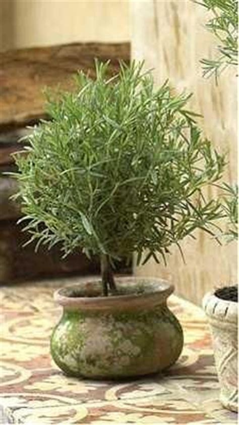 rosemary topiaries how to make a rosemary topiary misc diy ideas