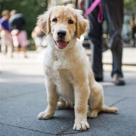 golden retriever new york jun 10 2016 golden retriever 4 m o new york ny she