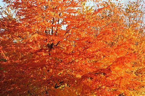 tree texture fall colors leaf orange autumn