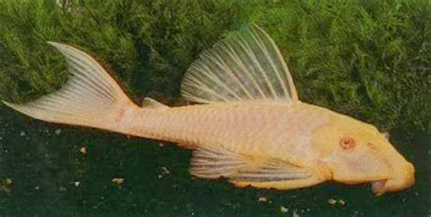 Makanan Ikan Cupang Dari Tumbuhan aquascape 3 the fish from a memory