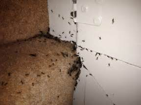 fleas in home got ants in your or your house or both 4 tips to