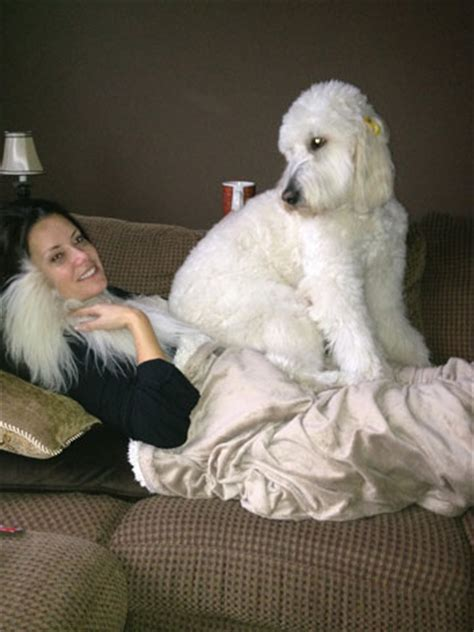 poodle lifespan in human years goldendoodle nursery goldendoodles adoption a