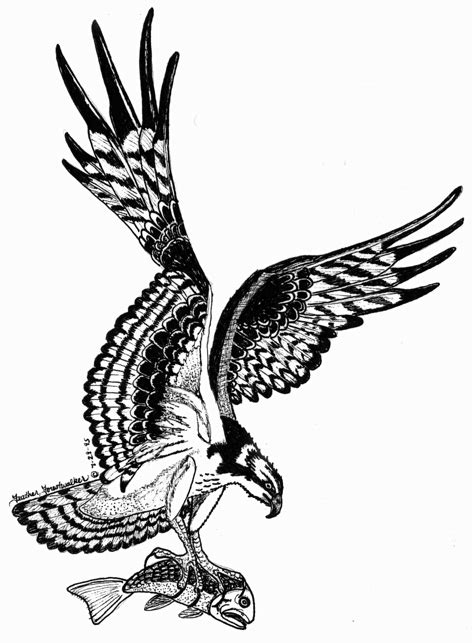 osprey tattoo designs whats in a name ob expedition s naturalist notebook