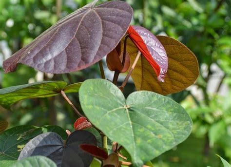 manfaat  khasiat daun waru bagi kesehatan tanaman