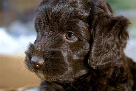 mini doodle welpen kaufen mini chihuahua hunde und welpen kaufen ebay kleinanzeigen