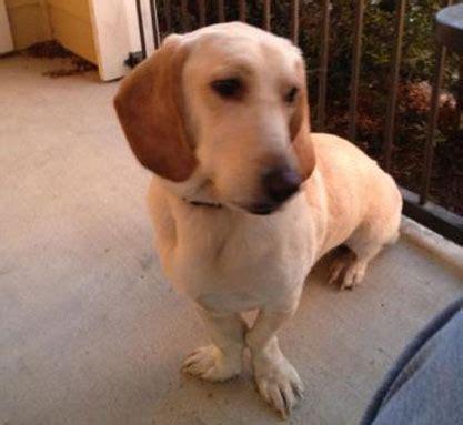 bassador puppies for sale retriever labrador hound mix dogs our friends photo