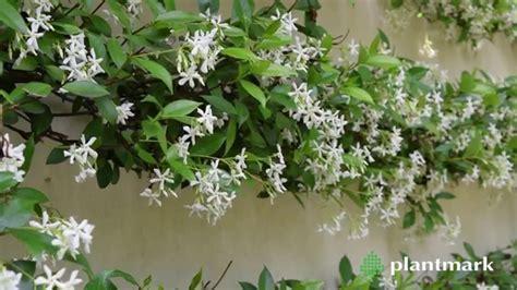 Azkia Syari trachelospermum jasminoides at