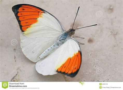 orange and white l white orange butterfly stock photos image 2202113