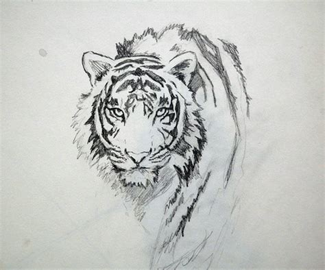 another tiger sketch by me kat coy flickr