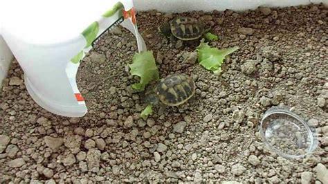 alimentazione tartarughe di terra piccole tartarughine di terra