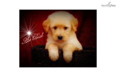 shipping puppies by air goldendoodle puppy for sale near columbia jeff city missouri 1163a69a 2dc1