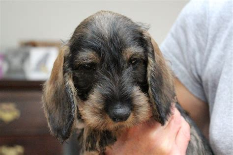 haired dachshund puppies for sale wirehaired dachshund puppies for sale wire haired dachshund dogs breeds picture