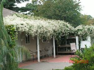 silver lace vine on pergola and roof vines pinterest lace silver and pergolas
