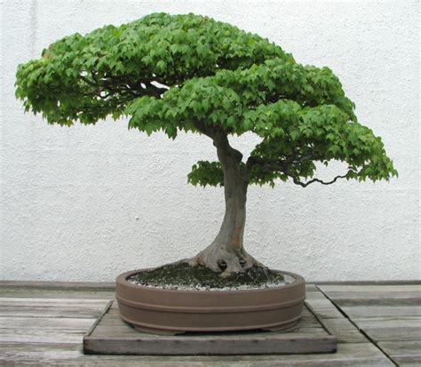 bonsai trees information get a mini bonsai tree