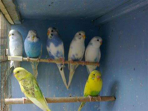 budgies for sale batley west yorkshire pets4homes