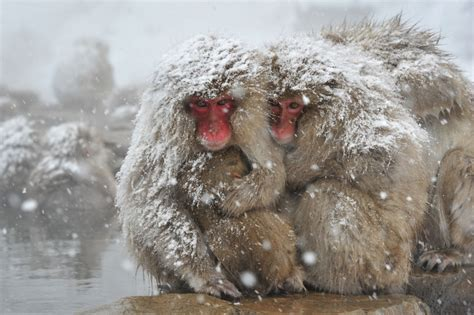 Natural Snow Monkey, Japanese Macaque – Facts Of ...