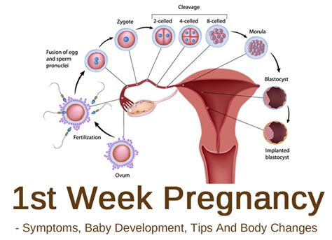 No Period 3 Months After Section by 1st Week Pregnancy Symptoms Baby Development Tips And