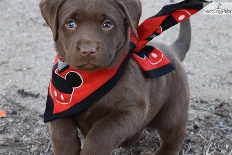 labrador puppies for sale orange county labrador retriever puppy for sale near orange county california e7390558 ce41