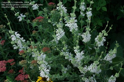 silver sage plantfiles pictures salvia species silver clary silver