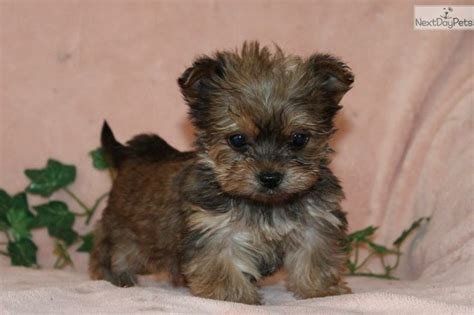 havanese yorkie mix 1000 images about havashire havanese on yorkie abyssinian cat