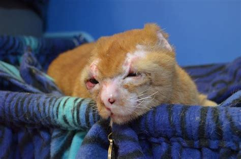 How To Comfort A Sick Cat by Cat Burned In Comforts Other Sick Animals At