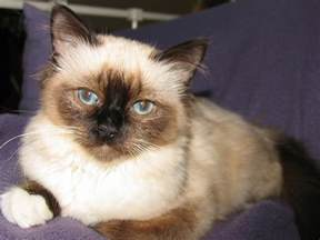 are birman cats expensive about animals