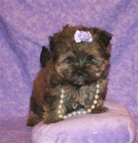 yorkie poo for adoption peekapoo puppies quotes
