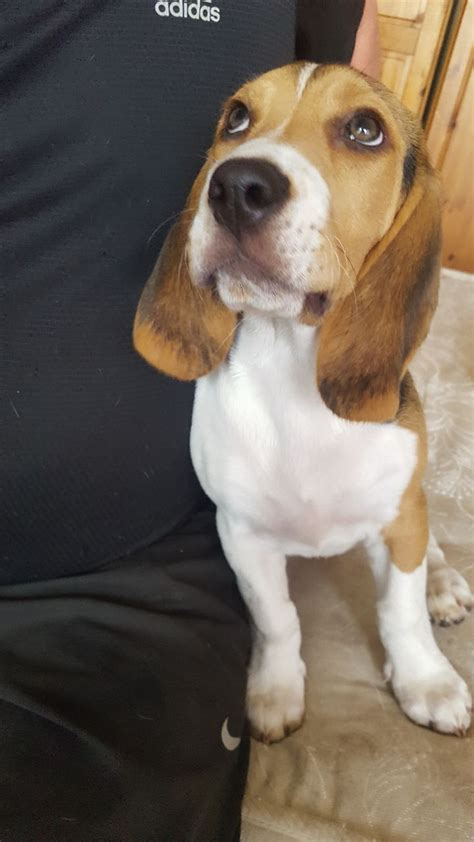 beagle for sale beagle for sale ilford essex pets4homes