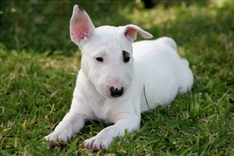 mini bull terrier puppies mini bull terrier puppies akc breeds puppies mini bull terrier puppies adoption