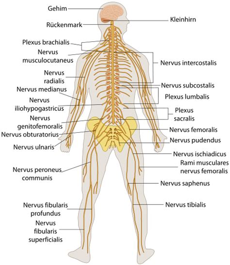 pattern in chief meaning in urdu sistema nervioso humano explicado f 225 cil dr alberto