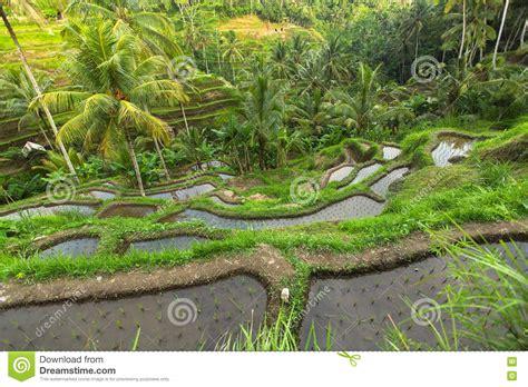 terrazzi verdi terrazzi verdi riso nell isola di bali agricoltura