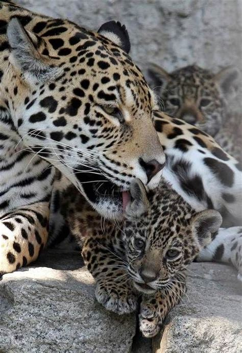jaguar bathtubs 40 best images about we heart moms on pinterest mom rainforests and rainforest trees