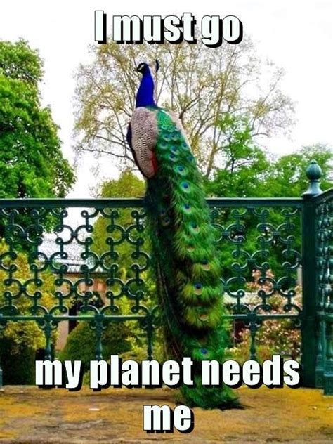 Peacock Meme - peacock must go i must go know your meme