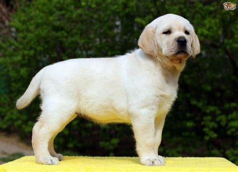 cost of labrador puppy what is the cost of labrador dogs in india quora