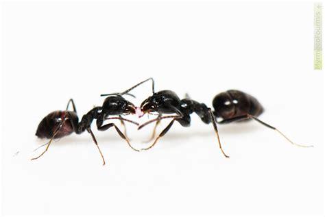 comment se d饕arrasser des fourmis dans une cuisine chasser les fourmis de la maison
