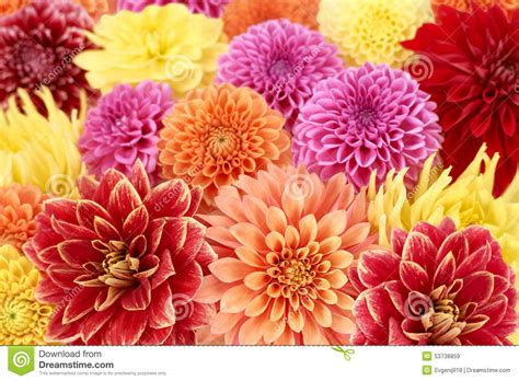 dahlias different type colorful floral background stock image image of meadow background