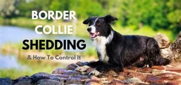 Do Border Collie Shed border collie shedding