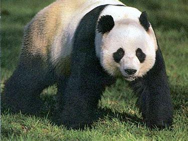 images of panda bears panda bears bears of the world